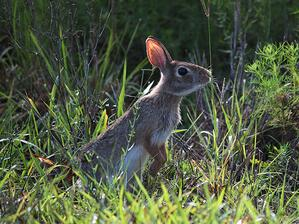 April - Gail Diederich - Cottontail Bunny